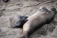 Nördlicher See-Elefant-Robbenbaby-Fütterung stockbild