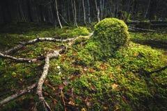 Nördlicher Waldboden Moosiger Boden und warmes, herbstliches Licht Norwegisches Waldland stockbild