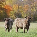 Nötköttko och kalv Arkivfoton
