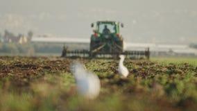 Nötkreaturägretthäger i ett fält med ändringsfokusen till odla för traktor stock video