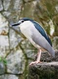 Nötkreaturägretthäger, Kuala Lumpur Bird Park arkivbilder