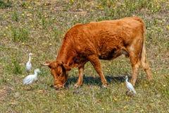 Nötkreaturägretthäger med en Alentejana ko, Alentejo region, Portugal royaltyfria foton