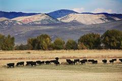 Nötkreatur betar i Wyoming berg arkivbild