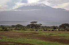 Nötkreatur betar på och i bakgrunden Kilimanjaro i Kenya Royaltyfri Fotografi