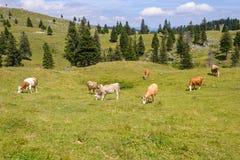 Nötkreatur boskap som betar på, betar i berg fotografering för bildbyråer