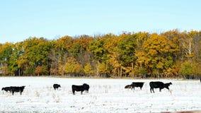 Nötkreatur för Angus konötkött som betar i snö, betar i Minnesota på solig höstdag lager videofilmer