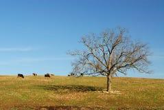 nötkreatur field Fotografering för Bildbyråer