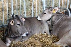 nötkreatur fodder stablen Royaltyfri Foto