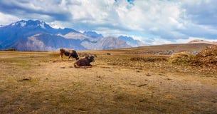 Nötkreatur i Anderna - Peru royaltyfria foton