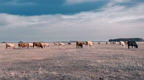 Nötkreatur i den Hortobagy nationalparken, Ungern arkivbilder