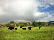 Nötkreatur i Front Of Rainbow arkivfoto