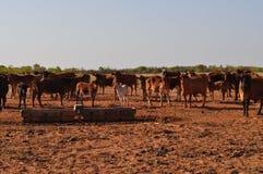 Nötkreatur i kreatursinhägnad skriver Australien vildmark med vattenho Arkivbild