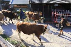 Nötkreatur kor, kalvar och tjurar som smyckas med blommor, betar drev arkivfoto