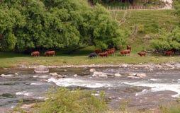 Nötkreatur på en flodbank Arkivfoto