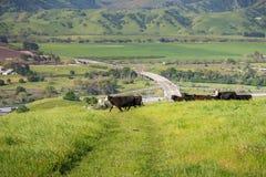 Nötkreatur samlas på betar upp i kullarna; dal med jordbruks- fält och huvudvägen i bakgrunden, södra San Francisco royaltyfria foton