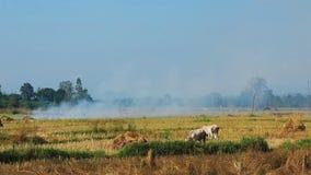 Nötkreatur som betar i risfältfältet lager videofilmer
