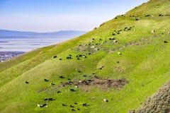 Nötkreatur som betar på en brant kulle, södra San Francisco Bay område i bakgrunden, Kalifornien arkivbild