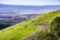 Nötkreatur som betar på en brant kulle, södra San Francisco Bay område i bakgrunden, Kalifornien royaltyfri fotografi