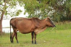 Nötkreatur som matar ranchen Royaltyfri Foto
