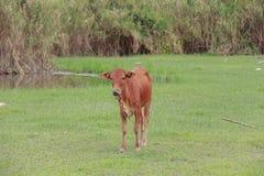 Nötkreatur som matar ranchen Fotografering för Bildbyråer