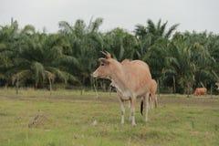 Nötkreatur som matar ranchen Royaltyfri Bild
