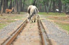 Nötkreatur som står på järnvägen Arkivbild
