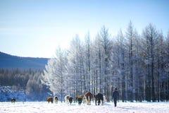 Nötkreaturflock Aershan Inner Mongolia Kina Royaltyfri Fotografi