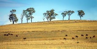 Nötkreaturflock nära Dubbo Australien Royaltyfria Foton