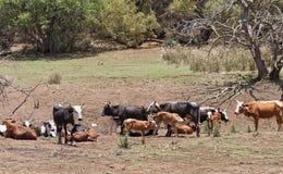 Nötkreaturflock på en lantgård nära Rustenburg, Sydafrika Arkivfoto