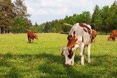 nötkreaturs- brun kowhite Arkivfoto