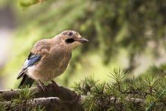 Nötskrikafågel på en fatta Arkivfoto