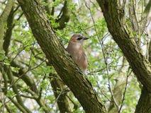 Nötskrikafågel på trädfilial fotografering för bildbyråer