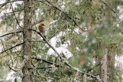 Nötskrikasammanträde i ett träd Arkivfoto