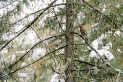 Nötskrikasammanträde i ett träd Royaltyfri Foto