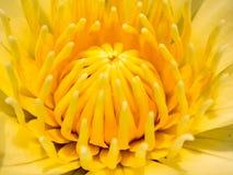 Núcleo amarelo da flor Fotografia de Stock Royalty Free
