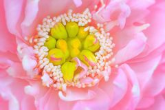 Núcleo de Lotus fotografia de stock