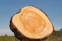 Núcleo de uma árvore Imagens de Stock