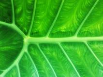 Núcleo e osso com textura verde da folha O verde grande deixa o fundo imagem de stock