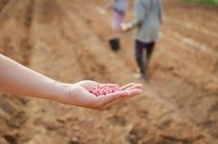 Núcleos de milho disponível para cultivar imagem de stock