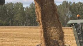 Núcleos do trigo ou de milho que caem do eixo helicoidal da liga vídeos de arquivo
