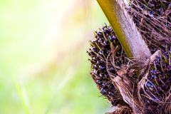Núcleos maduros em uma palmeira na plantação da árvore do óleo de palma, planta tropical para a bio produção diesel fotografia de stock