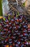 Núcleos maduros em uma palmeira na plantação da árvore do óleo de palma, planta tropical para a bio produção diesel imagem de stock royalty free