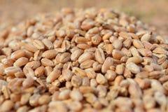Núcleos recentemente colhidos da grão do trigo Imagem de Stock Royalty Free