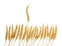 Número de orelhas do trigo fotografia de stock