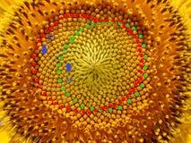 Números de Fibonacci de espirais da semente de girassol Foto de Stock Royalty Free