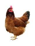 Één aardige bruine kip op wit Royalty-vrije Stock Afbeelding