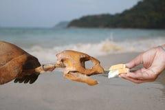 N'alimentez pas les créatures de mer, pain d'alimentation de main aux tortues de mer squelettiques Photo libre de droits
