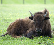 N. American Bison. Single North American Bison resting in a field Royalty Free Stock Photos