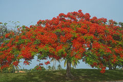 ¡ N de FlamboyÃ, Porto Rico Imagem de Stock Royalty Free