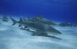 Négaprion brevirostris/GROUP OF LEMON SHARK Stock Photography